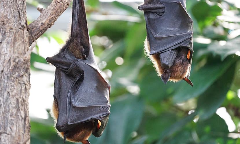 蝙蝠為什麼這麼神奇 身上有百毒卻百毒不侵?