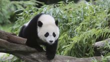 Giant panda Bao Bao to leave United States for China