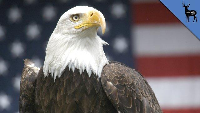 Why Does A Bald Eagle Represent America? - Animalist News