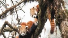In Darjeeling's Singalila National Park, red pandas and pangolins are being trafficked into extinction