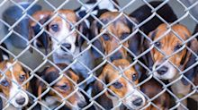 71 Beagles Rescued From 'Deplorable' Pennsylvania Home: 'The Conditions Were Really Unlivable'
