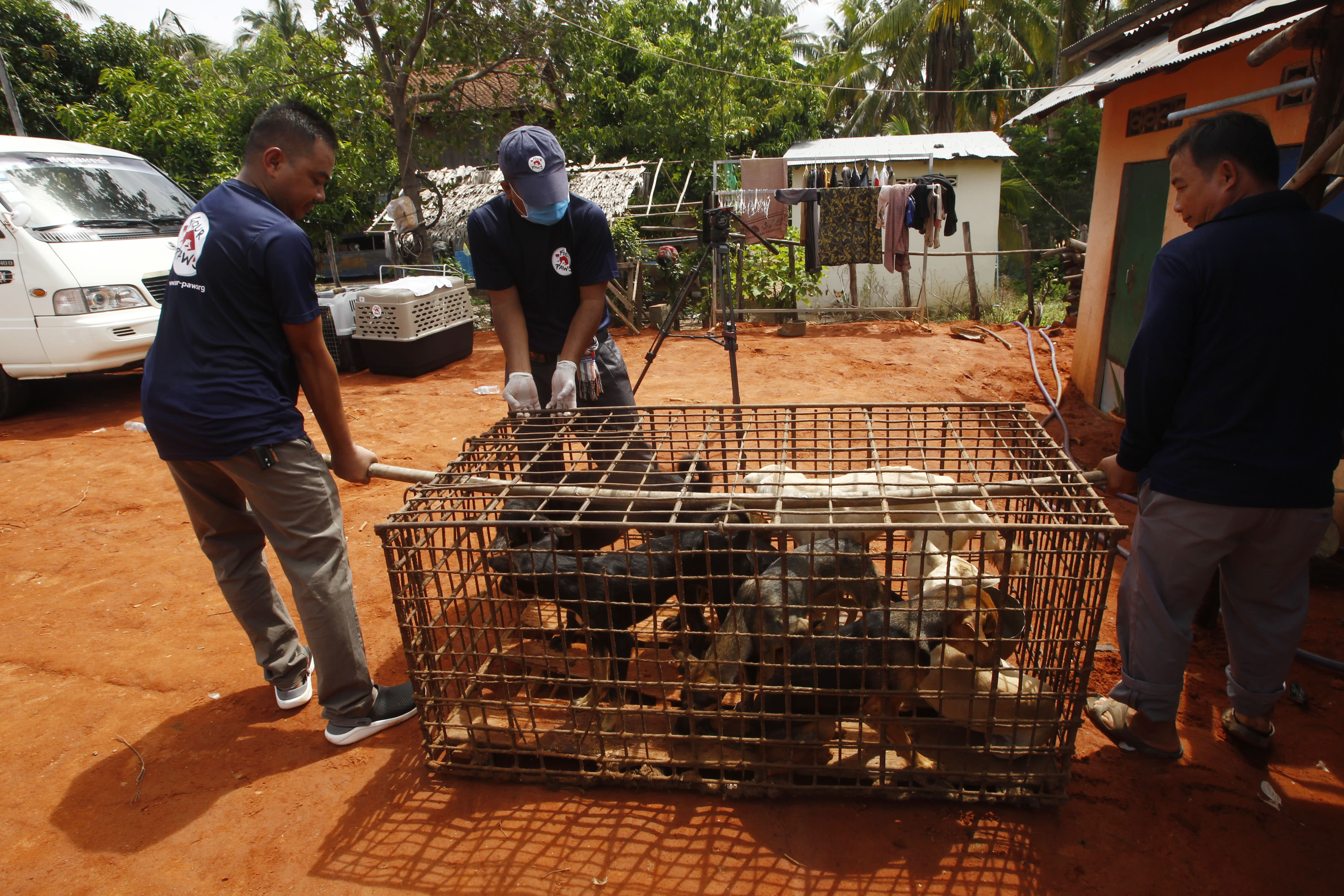 Staff members of FOUR PAWS International, carry a big dog's cage before they loading into their cages at Chi Meakh village in Kampong Thom province north of Phnom Penh, Cambodia, Wednesday, Aug. 5, 2020. Animal rights activists in Cambodia have gained a small victory in their effort to end the trade in dog meat, convincing a canine slaughterhouse in one village to abandon the business. (AP Photo/Heng Sinith)