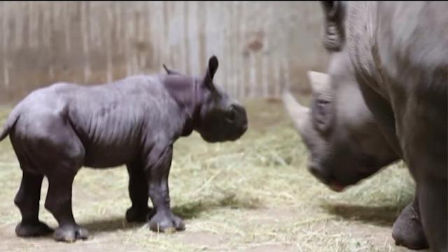 It`s a boy! Baby Black Rhino born at Lincoln Park Zoo