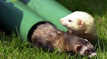 Ferrets 'could help in development of coronavirus treatments and vaccines'