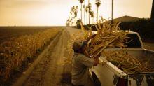 El calor, el humo y la COVID afectan a los trabajadores que alimentan a Estados Unidos
