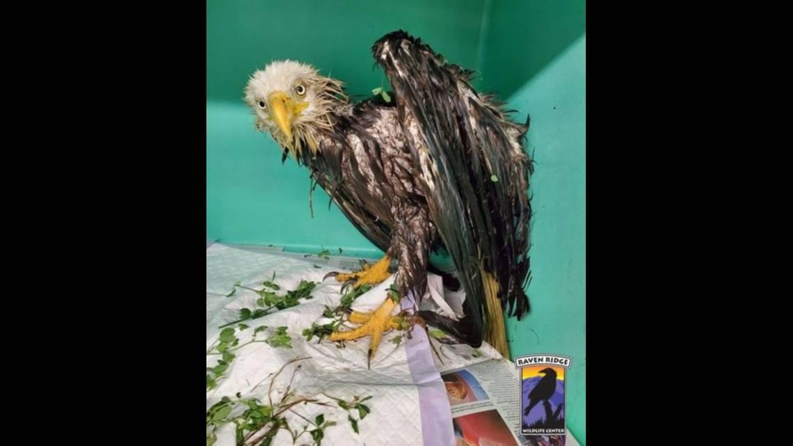 Bedraggled bald eagle spent 24 hours stuck in a manure pit, Pennsylvania rescuers say
