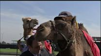 Camel And Ostrich Race