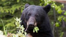 Bear activity rising after spring hunt cancelled, outfitter says