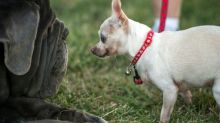 The unfairest of them all: jowly Martha named World's Ugliest Dog