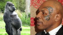 El día que Mike Tyson quiso pelear con un gorila