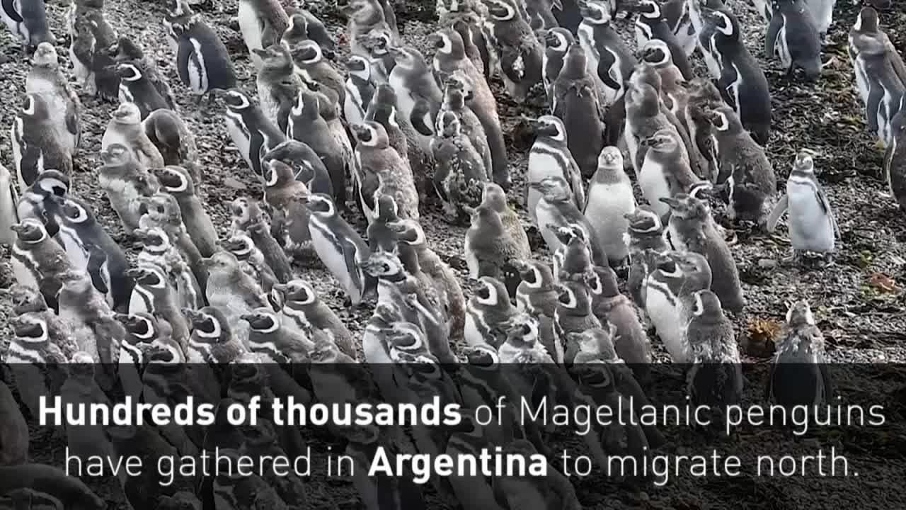 Hundreds of thousands of penguins gather to migrate [Video]
