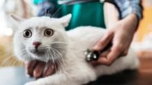 Coronavirus: Cats highly susceptible to infection, study finds