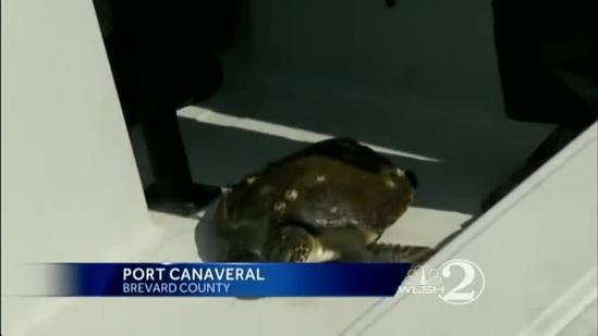 Endangered sea turtle rescued after fishing line found around neck