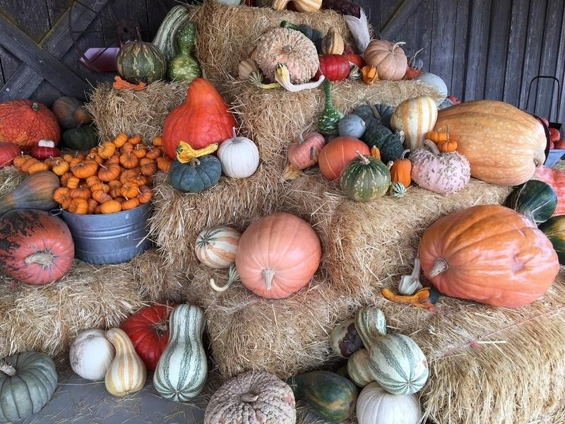 Head out and pick out that pumpkin and enjoy the many fall attractions Tinley Park-area pumpkin patches have to offer.