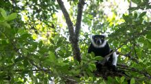 Poachers threaten precious Madagascar forest and lemurs