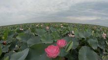 Lo spettacolo del loto del Volga
