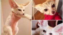 【多圖】日本超可愛「大耳狐」 出浴照網上熱傳