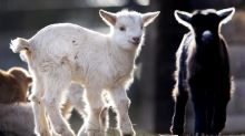 Bubs charges ahead on goat milk