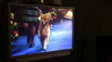 Dogs Bark at Fellow Canines Competing in National Dog Show