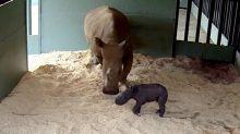 Baby Rhino Takes First Steps at Australia Zoo