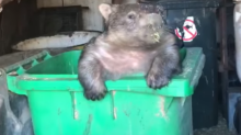 Wombat Stuck in Wheelie Bin Tries to Pull Himself Free