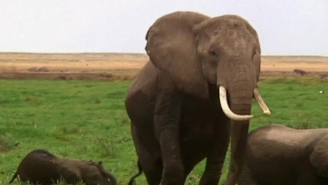 Researchers have sniffed out the secret to elephants' smelling success