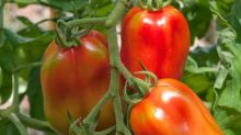 Three easy ways to ripen your tomatoes