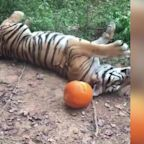 Adorable zoo animals can't get enough of pumpkins for Halloween