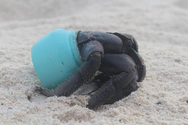Hundreds of crabs make homes out of plastic debris on Henderson Island. This crab inhabits an Avon cosmetics jar.