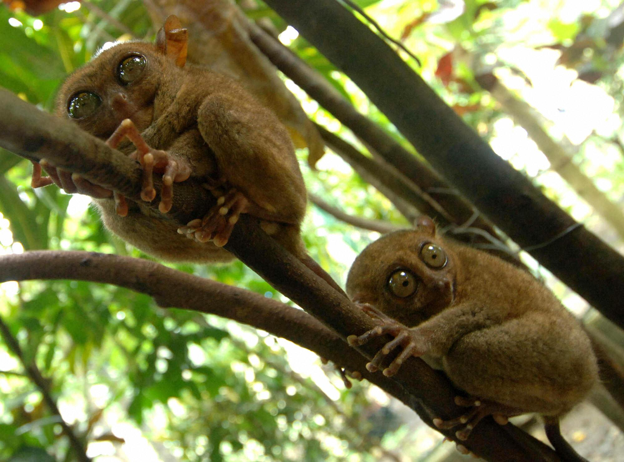 <p><strong>What is it? </strong>The tarsier is the world's smallest primate and a protected species in the Philippines.<br /> <strong>Size:</strong> The head and body range from 10cm to 15 cm in length, but the hind limbs are about twice this long (including the feet), and they also have a slender tail from 20 to 25 cm long. Their fingers are also elongated, with the third finger being about the same length as the upper arm.<br /> <strong>Lives:</strong> Several Southeast Asian islands, including the Philippines, Sulawesi, Borneo, and Sumatra.<br /> <strong>Eats:</strong> They are primarily insectivorous, and catch insects by jumping at them. They are also known to prey on birds, snakes, lizards, and bats.<br /> <strong>Fun fact:</strong> Tarsiers are small animals with enormous eyes; each eyeball is approximately 16mm in diameter and is as large as its entire brain.</p>