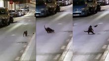 "La musa inspiradora del maestro Splinter: una rata karateka ""echó a patadas"" a un gato"