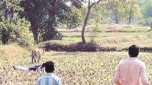 Maharashtra: Tigress ordered to be captured kills woman in Chandrapur district