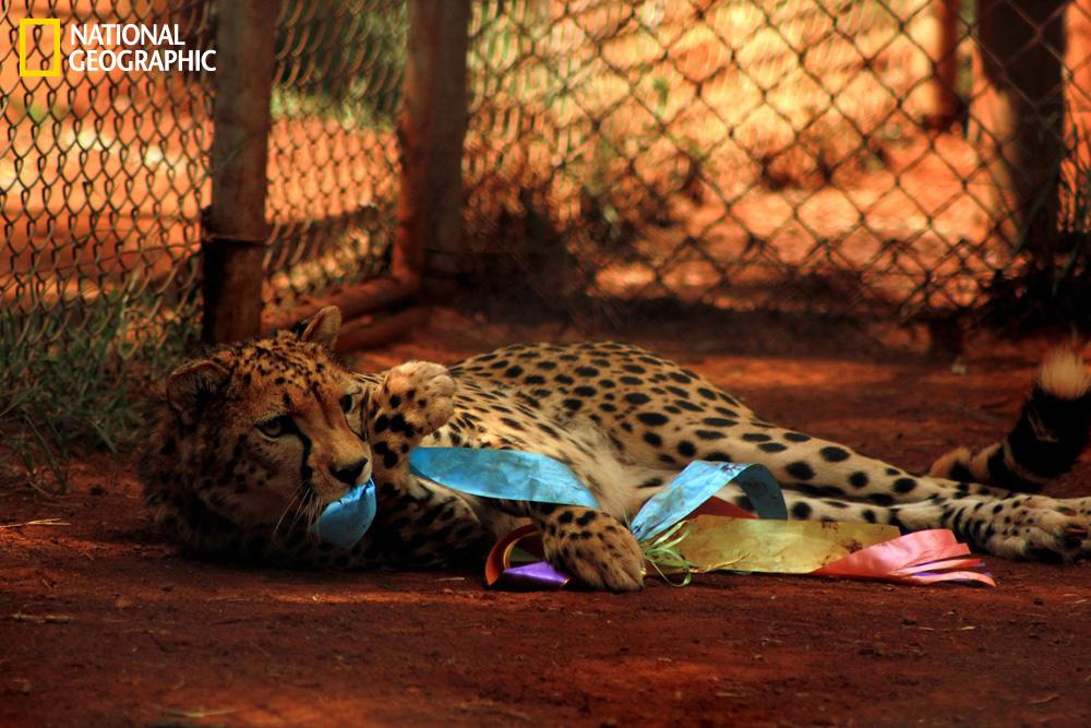 """""""This was taken at Nairobi Animal Orphanage. This young cheetah managed to get hold of leftover Easter decoration ribbons on its fence and was playing with it and refused the other young cheetahs trying to take it away from him."""" (Photograph Courtesy Sonali Nathwani / National Geographic Your Shot)"""