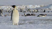 Antartide, scoperte con i satelliti 11 nuove colonie di pinguini