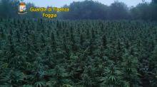 Foggia, sequestrata maxi piantagione di canapa indiana