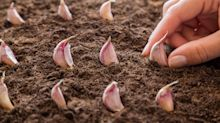 Grow to eat: grow a variety of garlic for maximum flavour