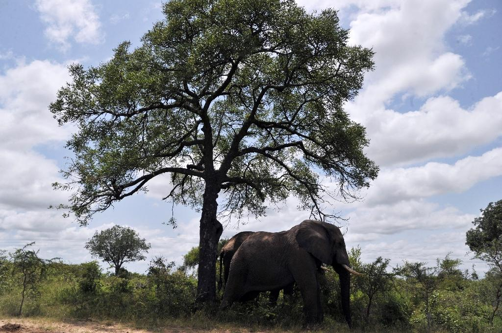 "Bamingui Bangoran's elephant population of more than 35,000 in the 1980s ehas been reduced to, ""I daresay... zero,"" said Hilde Vanleeuwe, who oversees conservation work at the park (AFP Photo/Issouf Sanogo)"