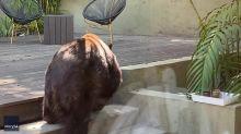 Bear Relaxes in Pasadena Backyard as Family Dog Barks