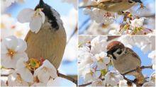 【有片】日本櫻花吸引採花賊 麻雀仔專吸花蜜
