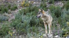 Desmontando el mito del lobo
