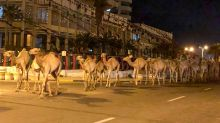 3,000 camels were evacuated from Libya's capital and had to trek 45 km