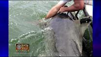 Md. Man Has Close Encounter With Great White; Pets Shark Off Ocean City Coast