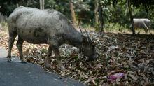 Bovine fine: Borneo tribal slur costs man eight buffaloes, plus gongs