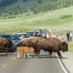A woman was injured by a wild bison while hiking at Yellowstone National Park