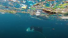 Microplastics on the menu for manta rays and whale sharks