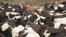 China levanta embargo à importação de carne bovina britânica