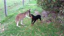 Kangaroo and Rottweiler Puppy Play Together