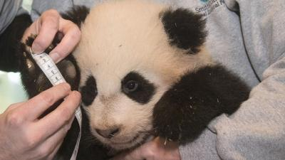 Raw: Weigh in for Bao Bao Right on Target