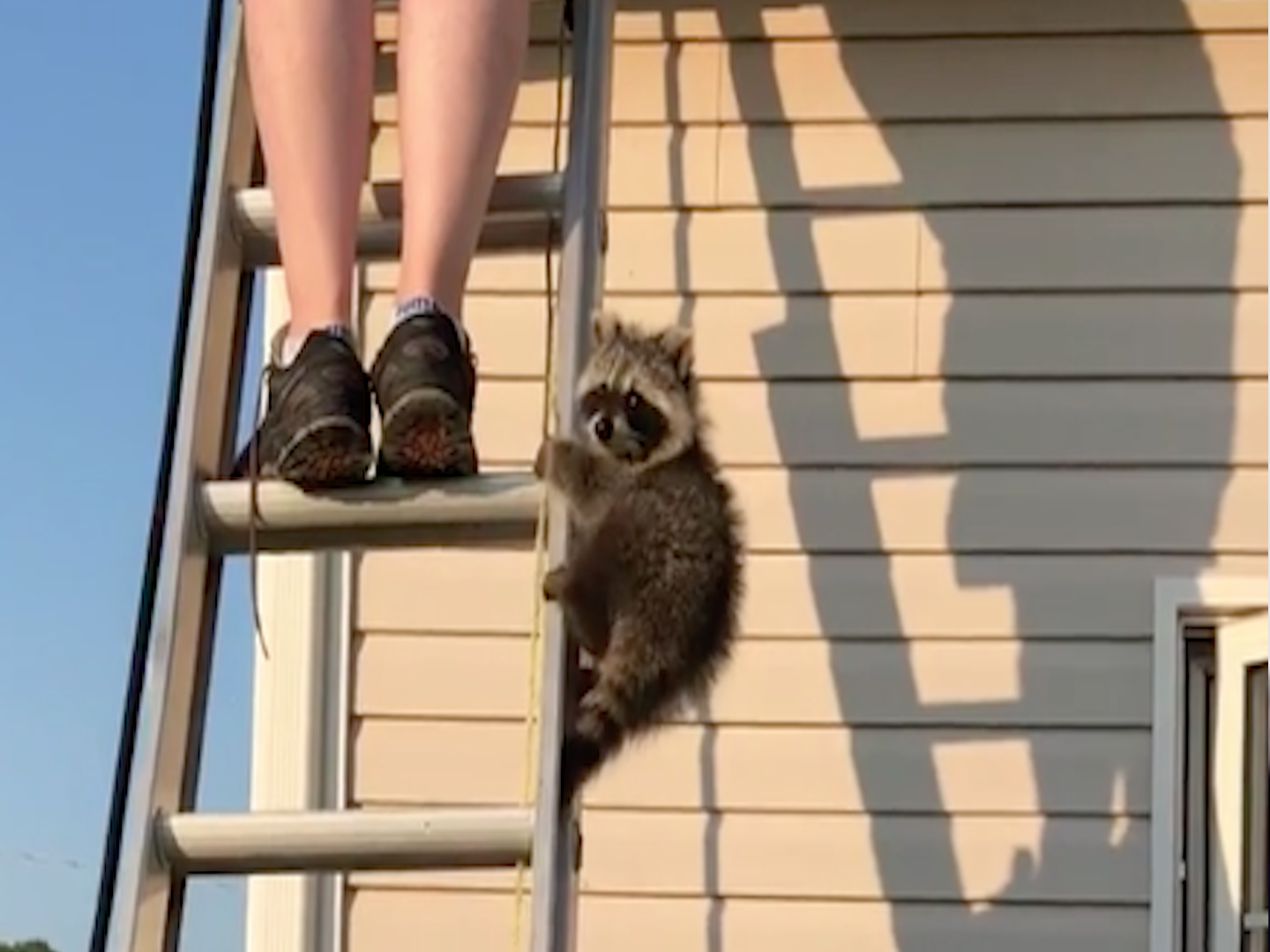 This little raccoon just wants to help out!
