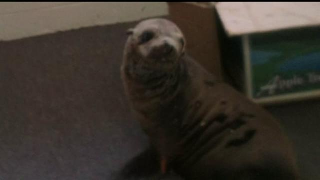 Sea Lion Waddles Into Chamber Of Commerce Office